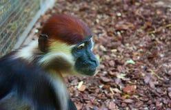 Monkey. Royalty Free Stock Images