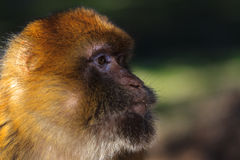 Monkey. Wild monkey looking for a food Stock Image