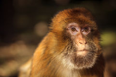 Monkey. Wild monkey looking for a food Royalty Free Stock Image
