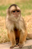 Monkey. A view of a small, sitting monkey, calmly surveying Royalty Free Stock Photo