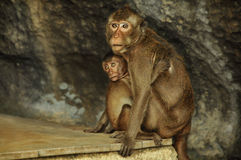 Monkey. Mom is sitting with the baby in the arms Royalty Free Stock Image