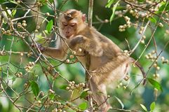 Monkey. (Pig-tailed macaque) eating fruit on Banyan tree in jungle Royalty Free Stock Photo