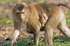 Monkey. (Pig-tailed macaque) with baby Royalty Free Stock Photography
