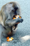 Monkey. Eating orange with hands and legs Royalty Free Stock Photography