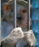Monkey. A caged monkey looking out through the cage Stock Photos