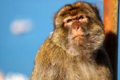 Monkey. The close-up of monkey (macaca nemestrina Stock Photo
