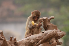 Monkey. Looking at the fruit and thinking what to do Stock Photography