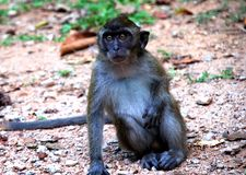 Monkey 3. A Monkey in Langkawi island in malaysia in 2008 Royalty Free Stock Photo