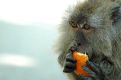 Monkey. Close up of monkey eating orange Royalty Free Stock Images