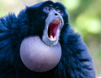 Monkey Royalty Free Stock Photo