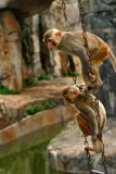 Monkey. Two monkey playing in the chain Stock Images