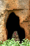 Monkey. The son and mother monkey look out of the cave Stock Photography