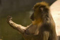 Monkey. Holding his hand out Royalty Free Stock Image