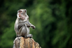 Monkey. A monkey with a green background royalty free stock photo
