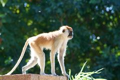 Monkey. A black faced monkey looking off into the distance Stock Images