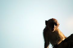Monkey. On top view Royalty Free Stock Image