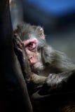 Monkey. A monkey in zoo,portrait stock photography