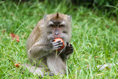 Monkey. Wild monkey at Mauritius island Stock Images