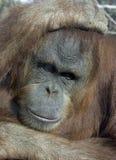 Monkey. Hairy Monkey Stock Images