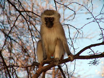 Monkey. Business,just doing a survey Royalty Free Stock Photos