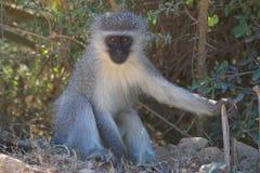 Monkey. Vervet Monkey resting in the shade Royalty Free Stock Photography