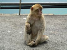 Monkey. Wait the next touristic royalty free stock image