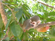 Monkey. A small monkey actively climbing a tree royalty free stock images