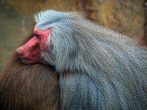 Free Monkey Stock Image - 59691831