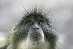 Monkey. Sykes monkey looking into sky Royalty Free Stock Photos