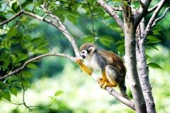 Free Monkey Royalty Free Stock Image - 6833106