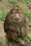 Monkey. An old monkey have a rest Royalty Free Stock Photography
