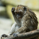 Monkey. Wet monkey scratching his head while sitting on a branch Stock Images