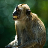 Monkey. Backlight monkey showing his teeth with green background Stock Photos
