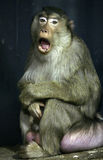 Monkey Royalty Free Stock Image