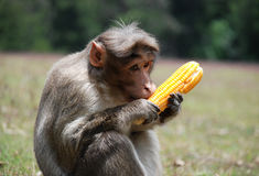 Monkey. Eating a some food Stock Photos