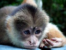 Monkey. A thinking monkey near amazon river Stock Photos