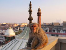 Monkey. New Delhi - India Monkey on a roof above the old city royalty free stock photography