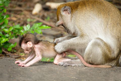 Free Monkey Royalty Free Stock Photo - 80250775