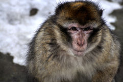 Monkey portrait. Portrait of cute monkey with snow in background Stock Image