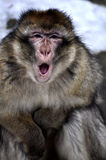 Monkey. Closeup crying mouth open Stock Image