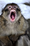 Monkey. Closeup crying mouth open Royalty Free Stock Photos
