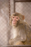 Monkey. A lovely monkey sitting in the cage watching calmly outside Stock Photography