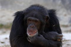 Monkey. In deep thoughts Royalty Free Stock Image