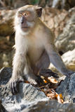 Monkey. Is sitting on the stones and looking forward Royalty Free Stock Images