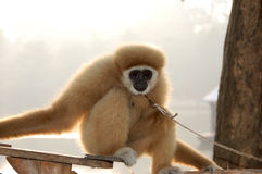 Monkey. Is sitting in Thailand Royalty Free Stock Images