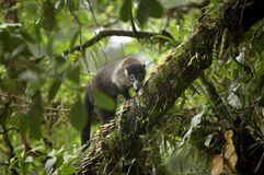 Monkey. A monkey sits perched in tree Stock Images