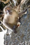Monkey. Is sitting on the stones and looking forward Stock Image