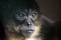 Monkey. Closeup of a Spider Monkey against a dark background Stock Image