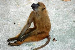 Monkey. Resting Royalty Free Stock Photos