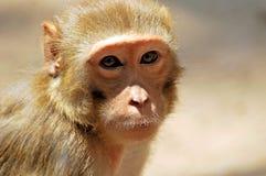 Monkey. Closeup shot of monkey in bright sunny day Stock Photos